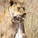 A lions light meal