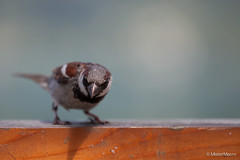 A sparrow staring right back (mistermacrophotos) Tags: bird sparrow grspurv fugl gr spurv zell am see austria