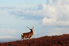 Red Deer Stag on the Hillside (Gavin MacRae) Tags: stag winterstag reddeerstag cervuselaphus deer reddeer strathglass glencannich glenstrathfarrar glenaffric scottishwildlife scottishnature scottishhills scottishlandscapes highlandsofscotland highlandnature highlandwildlife highlandlandscape highlands nature nikon winter winterwildlife woodlandwildlife wildlife scotland