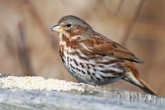 Fox Sparrow (Brian E Kushner) Tags: foxsparrow fox sparrow passerellailiaca mariner point park joppa maryland md nikon d4s nikond4s birds bkushner wildlife animals birdwatcher brianekushner nikon300mmf40dedifafsnikkorlens 300mm f4 nikor tc17eii tc17