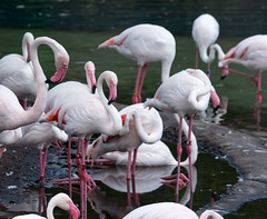 Greater Flamingo (bellemarematt) Tags: disney animal kingdom florida wildlife zoo theme park bird avian greater flamingo phoenicopterus roseus