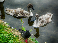 The intruder (ItalishMagazine) Tags: ifttt 500px italishmagazine italish irlandesidentro irishinside irlanda ireland dublino dublin royal canal water nature photograph pics pidgeon swan swans cygnets