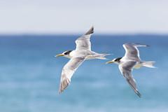 Maroubra I (M Hooper) Tags: maroubra terns crestedtern beach ocean