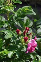 Roses are wild... (petrOlly) Tags: europe europa poland polska polen lodz nature natura przyroda garden inthegarden summer flower flowers plants plant