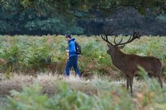 Tiptoes...Tiptoes... (paulinuk99999 - just no time :() Tags: paulinuk99999 bushy park london wildlife deer rut sal70400g