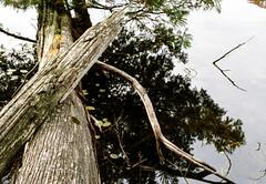 Crossed Trunks II (Bill Smith1) Tags: asahipentaxkx believeinfilm billsmithsphotography fall2016 heyfsc jacksonlake lomo400c41 muskoka smcpentaxm50f14lenslens filmshooterscollective