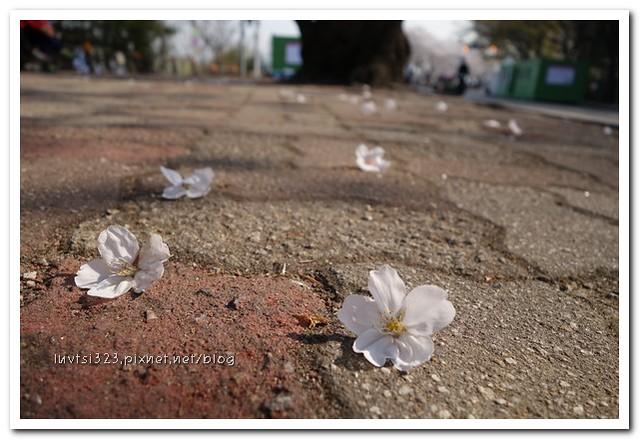 여의도벚꽃13