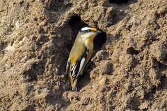Striated Pardalote (Teale Britstra) Tags: bird yellow nest australia brisbane dirt queensland pardalote striatedpardalote