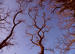 Up Above! ('cosmicgirl1960' NEW CANON CAMERA) Tags: blue trees sky brown nature naked bare branches undressed yabbadabbadoo