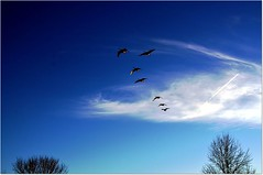 Time to get home (vainapur) Tags: blue sky silhouette geese