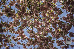 Bonn-Kirschbluete-6 (kurvenalbn) Tags: deutschland bonn pflanzen blumen nordrheinwestfalen frühling kirschbluete