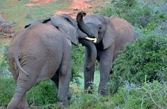 Elephant duel (stevelamb007) Tags: africa wild elephant southafrica addo bush nikon play action d70s conflict fighting adolescent easterncape interaction playfighting 18200mm africanwildlife addoelephantnationalpark thornbush stevelamb