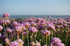 THRIFT (Mike&Lulu) Tags: flowers coast thrift isleofwight comptonbay
