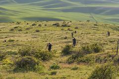 An evening on Steptoe Butte (NikonDigifan) Tags: wheat agriculture goldenhour palouse easternwashington palousehills steptoebutte tamron7020028 mikegassphotography nikond750