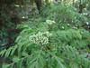 Murraya koenigii_MNP (Alka Khare) Tags: murraya rutaceae
