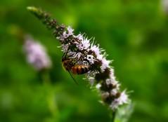 Pollination (vainapur) Tags: flowers summer flower macro nature garden bokeh outdoor bees naturallight bee flowerbed pollen busybee nector bokehlicious naturescolors naturespainting naturespallete bokehrama plollination