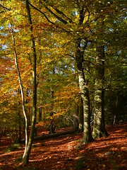 Beeches in autumn (Edmund Shaw) Tags: autumn trees red woodland berkshire beech fagus