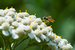 Mais uma macro (Juc Costa) Tags: ca canada flower macro nature insect natureza flor 11 manitoba inseto pollen plen pollination polinizao oakbank birdshillprovincialpark canonef100mm28macro