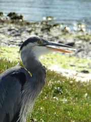 Gular Fluttering, Great Blue Heron (kellermartha453) Tags: gular fluttering great blue heron esquimalt lagoon victoria bc thermoregulatory mechanism cooling dissipate heat open mouth panting hot day neck muscles