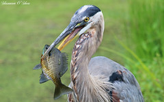 That face you make when you catch a fish as big as your head. (Shannon Rose O'Shea) Tags: shannonroseoshea shannonosheawildlifephotography shannonoshea greatblueheron heron bird beak feathers fish fishing bluegill blue wildwoodlake harrisburg pennsylvania nature wildlife waterfowl flickr wwwflickrcomphotosshannonroseoshea canon canoneosrebelt6i canon100400mm14556lis canont6i canoneost6i canonrebelt6i eosrebelt6i eost6i rebelt6i t6i catchoftheday green