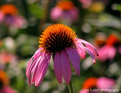 We are all ordinary. We are all boring. We are all spectacular. We are all shy. We are all bold.... (itucker, thanks for 2.3+ million views!) Tags: echinacea coneflower macro bokeh hbw raulstonarboretum