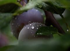 Plums (Klaudia D. P.) Tags: fruit summer plum purple colors colorful nature rain raindrops drops waterdrop bokeh closeup green tree waterdrops colours outdoor dof