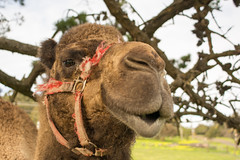 Hump day (brent.henriksen) Tags: camel face hair halter dromedary cute nose mouth snout nikond7100
