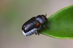 Coleoptera (robertoguerra10) Tags: red black macro beetle preto vermelho nuance besouro