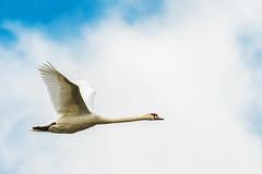 Swanson (axel.becker73) Tags: deutschland fly thringen swan schwan flug teiche cygnus olor hckerschwan dreba plothener