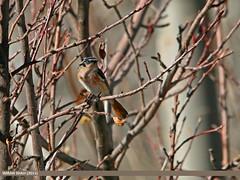Rufous-backed Redstart (Phoenicurus erythronotus) (gilgit2) Tags: avifauna birds borit canon canoneos70d category fauna feathers geotagged gilgitbaltistan gojal imranshah location pakistan rufousbackedredstartphoenicuruserythronotus sigma sigma150500mmf563apodgoshsm species tags wildlife wings gilgit2 phoenicuruserythronotus 6birds