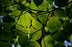 Dogwood Leaves (mswan777) Tags: park detail green texture nature up leaves backlight forest nikon pattern close state outdoor hiking michigan sigma trail 70300mm d5100