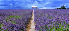 Lost in English Lavender (Christian_from_Berlin) Tags: lavender uk vacation lavendel purple lila violet filed sky saariysqualitypicturesgallery landscape blau
