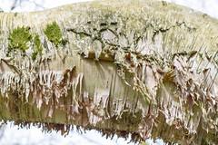 Birch tree at Westonbirt (Mark at Magdalen) Tags: trees england plants unitedkingdom places gloucestershire westonbirt gb