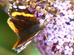 x P2530323c Red Admiral on Purple Buddleia . .. . . (Erniebobble::) Tags: erniebobble 2016 nature newforest wildlifegarden wildlife butterfly wings lepidotera bct colours edge education study portrait textural shape summer suspended feeding green environment ecosystem biodiversity balance harmonious peaceful gentle restful tranquil transient fleeting metamorphosis climate endangered pollination nectar secretworld painting pattern surface art above weather ephemeral biomarkers changing chrispackham garden transition