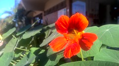Simple Flower (heberthvinnie) Tags: flor flower lumia930 pureview zeiss windows10mobile colorful colorido natureza nature macro