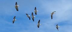 American White Pelican (YoungSue) Tags: bird pelican americanwhitepelican
