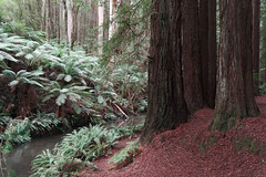 Sequoia sempervirons (martyr_67) Tags: beechforest plantation sequoia sempervirons sequoiasempervirons otway ranges