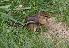 chipmunk in the grass (jimbobphoto) Tags: rodent peanut wildlife stripes eye