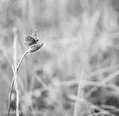 Argus au carr. (steph20_2) Tags: bw white black macro monochrome closeup butterfly insect lumix noir noiretblanc ngc panasonic papillon monochrom tamron blanc insecte proxy m43 gh3 sp90 skanchelli