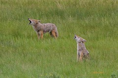 IMG_7689 coyotes (starc283) Tags: nature flickr wildlife predator coyotes starc283