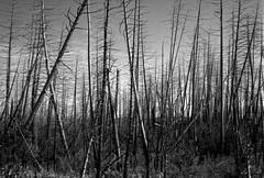 Pagami Creek Fire leftovers, BWCA (Paul Lundberg) Tags: olympus35sp kodaktmax100 rodinal plustekopticfilm7300 standdeveloped film bwca superiornationalforest