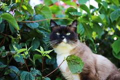 Eliot (Mariie76) Tags: nature de snowshoe chat yeux animaux sacr feuilles verdure birman flin bleus birmanie siamois tche museau