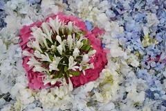 aores (ELENA TABASSO) Tags: azzorre aores portogallo portugal isola vacanza viaggio viaggi travel fiori fiore flower flowers