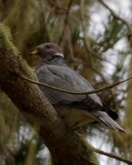 Band-tailed Pigeon (Tom Clifton) Tags: pointlobos birding whalersknoll pigeon bandtailedpigeon btpi