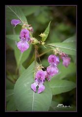 Himalayan balsam (Impatiens glandulifera) (the_coprolite) Tags: himalayan balsam impatiens glandulifera coquitlam portcoquitlam bc britishcolumbia hoycreek canada nikon d750 sigma 150600mm
