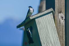 Tree Swallow (ajblake05) Tags: animals birds britishcolumbia burnaby burnabylakepark canada greatervancouver hirundinidae lowermainland northamerica tachycinetabicolor treeswallow vertebrata vertebrates