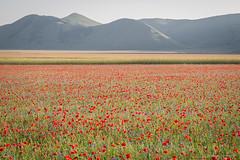 Castelluccio di Norcia, Umbria (ambrasimonetti) Tags: castelluccio di norcia italy umbria papaveri poppy field campo 2016 saveearth