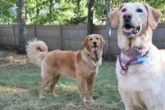 DSC_0100 (ghoulia) Tags: goldendoodle goldenretriever poodle labradoodle labrador rovercom dogvacay