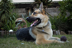 Zeus with his ball (Adventures with my dogs) Tags: shepherd dog fun friendly germanshepherd ball smile friend loyal