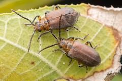 Chrysomelidae. Poneridia sp. Australian Fig Tree Beetle. (David Ball.) Tags: chrysomelidae poneridia galerucinae leafbeetle figtreebeetle canon270ex daintree australia